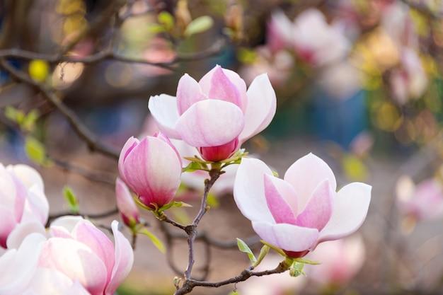 A árvore da flor do rosa da magnólia floresce, ramo do close up, exterior.