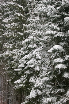 A árvore de abeto verde coberto de neve. paisagem de inverno.