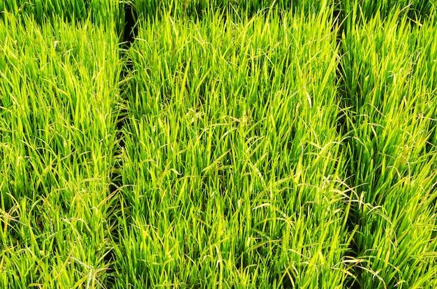 A árvore de arroz verde no campo e fundo desfocado