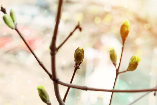 A árvore de florescência da mola brota o despertar da natureza para trás ternura do fundo o foco macio seletivo