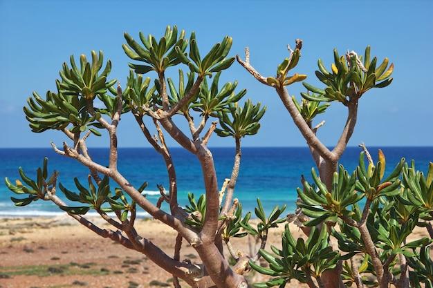 A árvore de garrafa na ilha de socotorá, iêmen