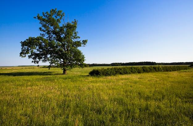 A árvore de uma bétula crescendo em um campo agrícola