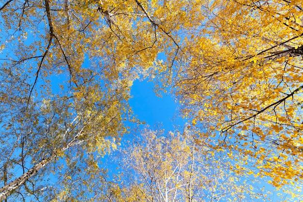 A árvore de vidoeiro no outono fotografou um close de folhas amarelas no topo de uma árvore de vidoeiro na temporada de outono
