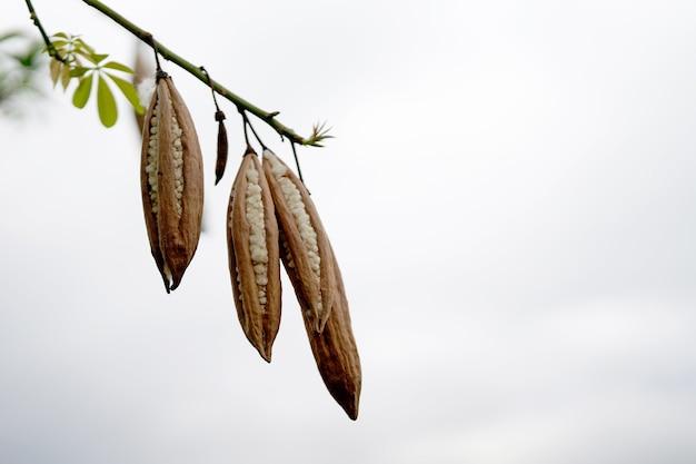 A árvore do algodão-seda branco ou árvore ceiba é uma fruta marrom com sumaúma branca por dentro. é comumente usado para fazer travesseiros ou cobertores na tailândia. Foto Premium