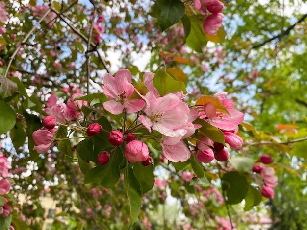 A árvore em flor malus domestica flores de uma macieira caseira