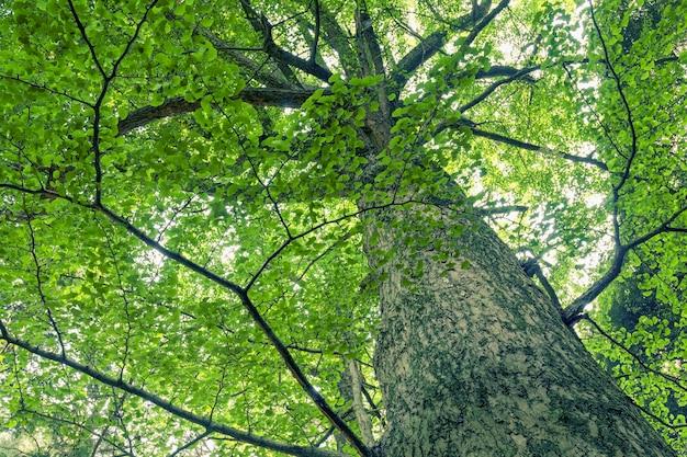 A árvore ginkgo gigante e poderosa cresce no verão