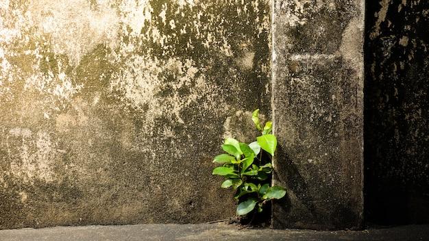 A árvore pequena está crescendo através no muro de cimento velho