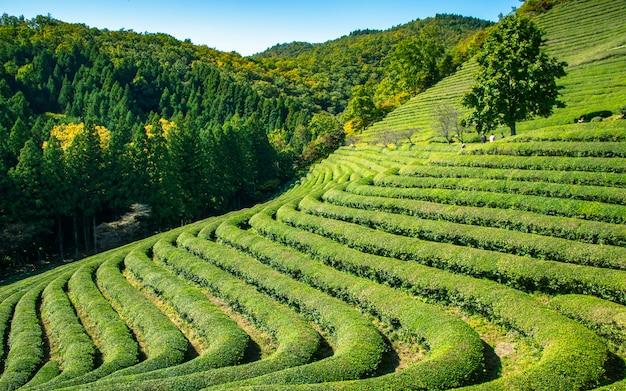 A árvore sozinha e o chá verde bonito de beseong cultivam, coreia do sul.
