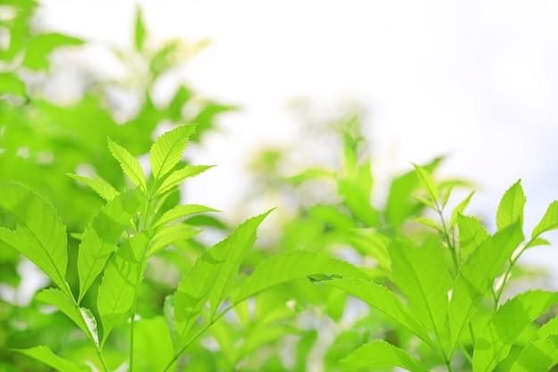 A árvore verde fresca da natureza sae no fundo borrado na luz solar da manhã. fundo natural com espaço de cópia.