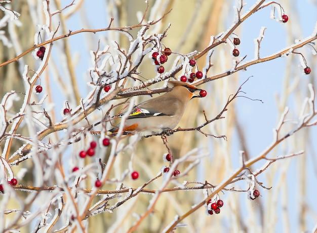 A asa de cera da boêmia (bombycilla garrulus) com uma baga no bico fica em um arbusto coberto de neve