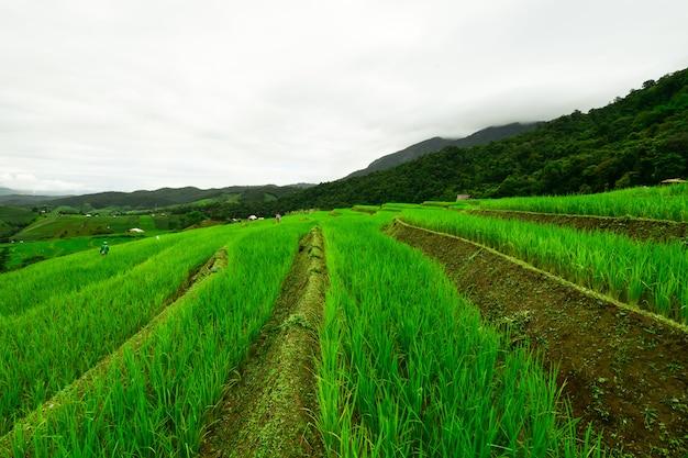 A atmosfera é refrescante no meio dos campos verdes.