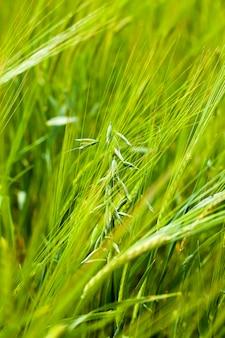 A aveia verde verde crescendo em um campo agrícola. pequena profundidade de nitidez