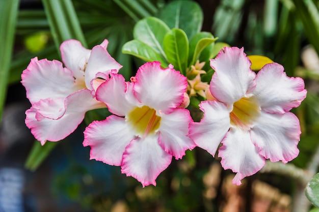A azálea cor-de-rosa bonita floresce flores tropicais. rosas do deserto
