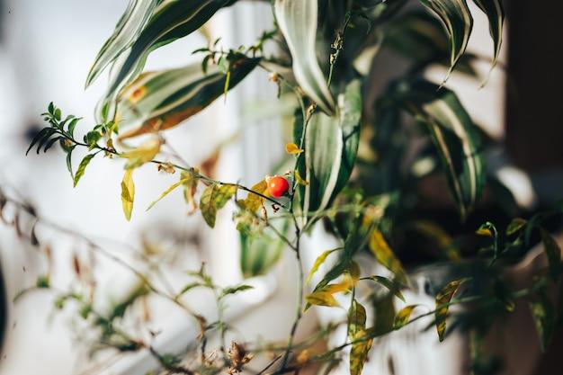 A baga laranja brilhante de solanum ou beladona houselant
