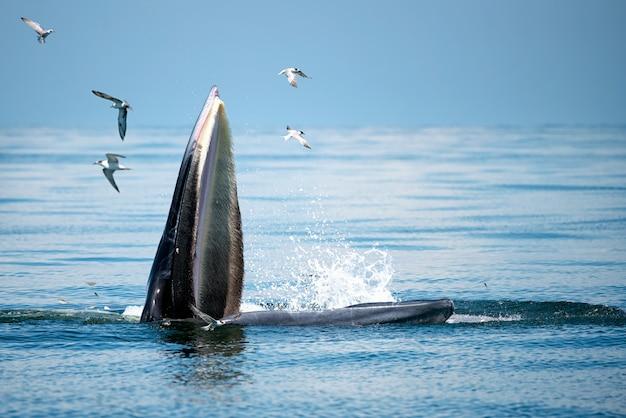 A baleia de bryde está emergindo acima do mar. existem muitas gaivotas voando por aí.