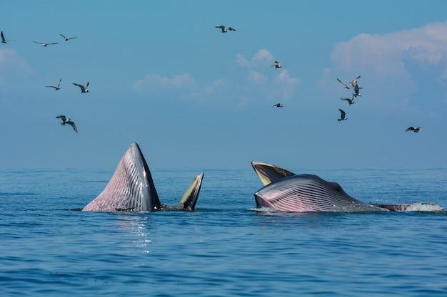 A baleia de bryde no golfo da tailândia.
