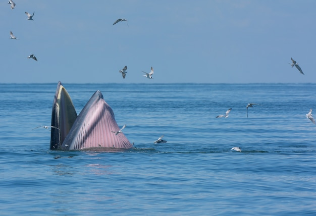 A baleia de bryde ou o complexo de baleias de bryde no golfo da tailândia.