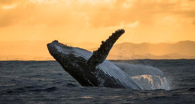 A baleia-jubarte pula da água. belo salto. . madagáscar. ilha de santa maria.