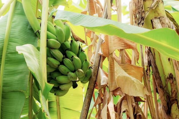 A banana na árvore e seca as folhas.