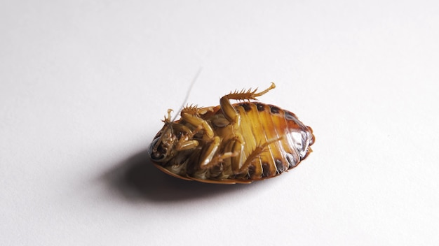 A barata envenenada deita-se de costas e rapidamente passa por cima com as patas.