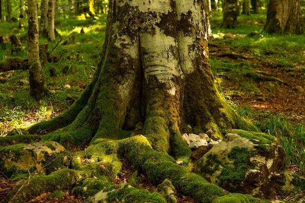 A base da árvore e as raízes são cobertas com musgo verde, uma floresta densa e escura.