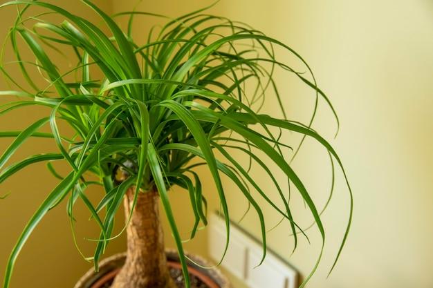 A beaucarnea recurvata também conhecida como ponytail palm ou nolina
