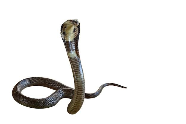 A bela cobra negra sobre fundo branco tem caminho