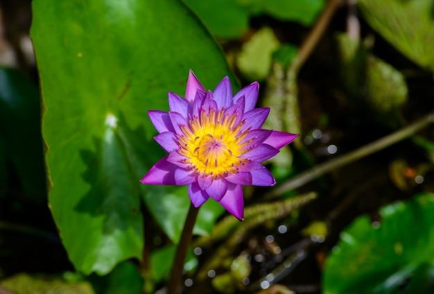 A bela nenúfar ou flor de lótus