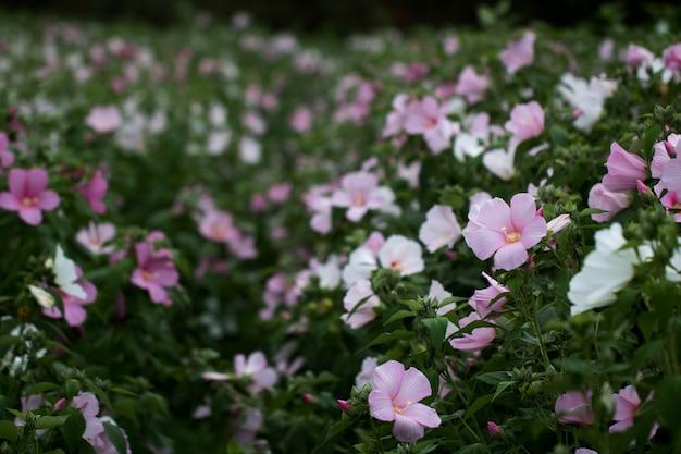 A bela rosa confederada