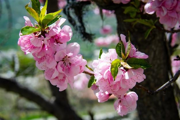 A beleza da flor de cerejeira. nas montanhas rakaposhi moutain, em hansa, paquistão