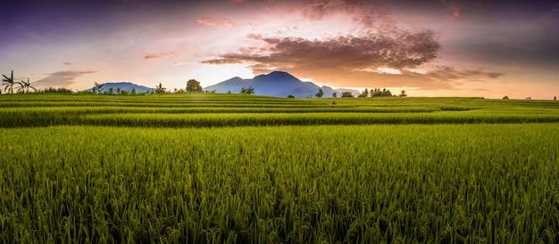 A beleza da manhã nos campos de arroz em uma manhã ensolarada