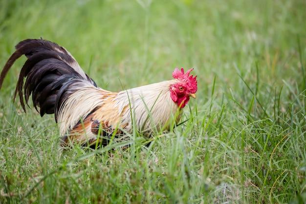 A beleza das galinhas de combate na tailândia