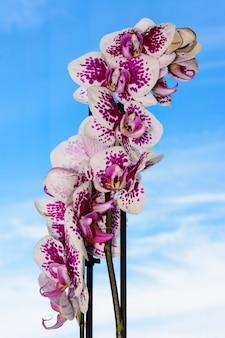 A beleza de uma orquídea branca e roxa em plena floração