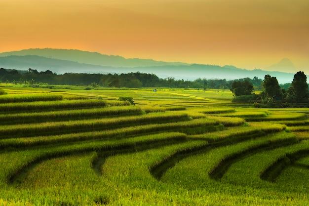 A beleza dos campos de arroz nos campos de arroz de verão / verão