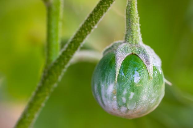 A beringela e a água do close up deixam cair na árvore em explorações agrícolas orgânicas com luz solar da manhã.