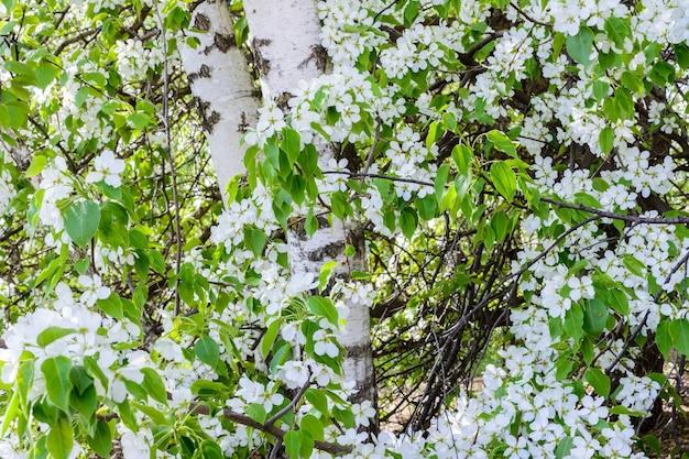 A bétula está envolta em flores de macieiras em flor. macieira em flor (malus prunifolia, maçã chinesa, maçã silvestre chinesa). a macieira em plena floração à luz do sol. a primavera.