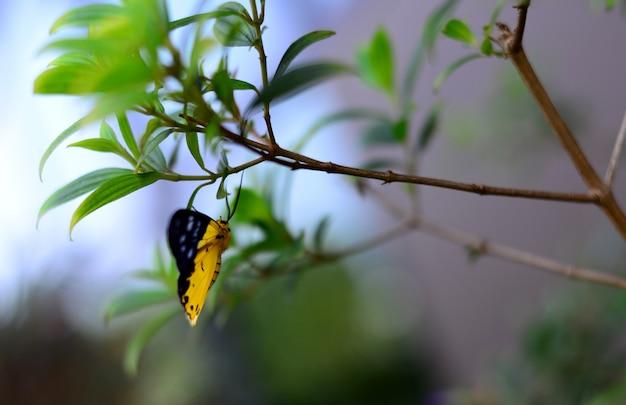 A borboleta amarela e preta asiática