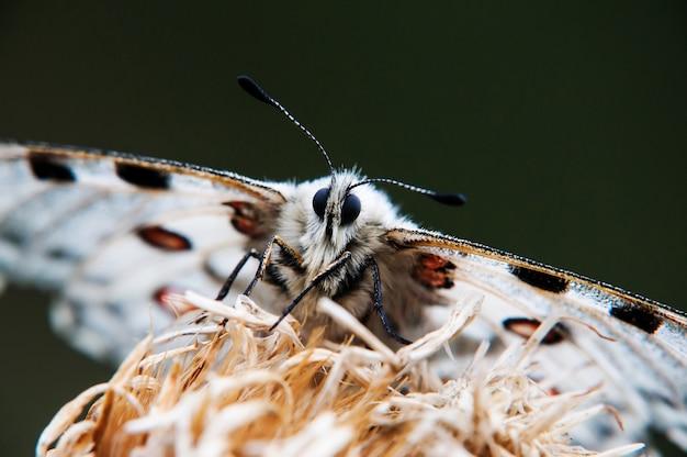 A borboleta apollo em uma grama. instantâneo de macro.