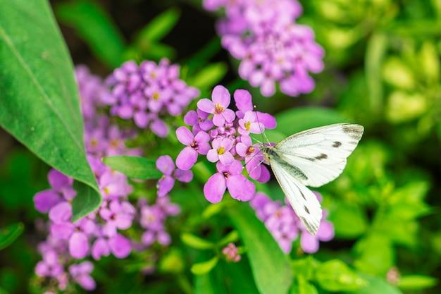 A borboleta branca coleta o pólen de uma flor brilhante no verão.