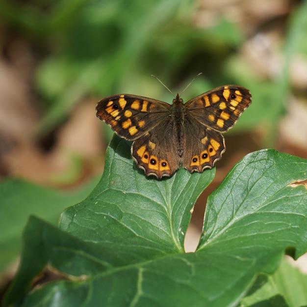 A borboleta marrom