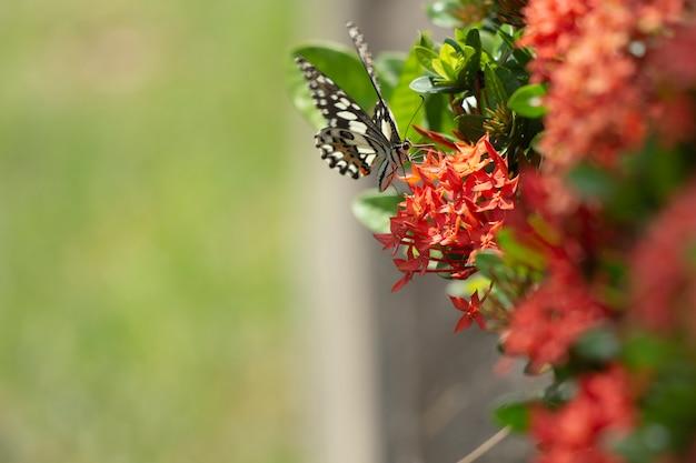 A borboleta oriental de swallowtail do tigre encontrou em ásia do nordeste.