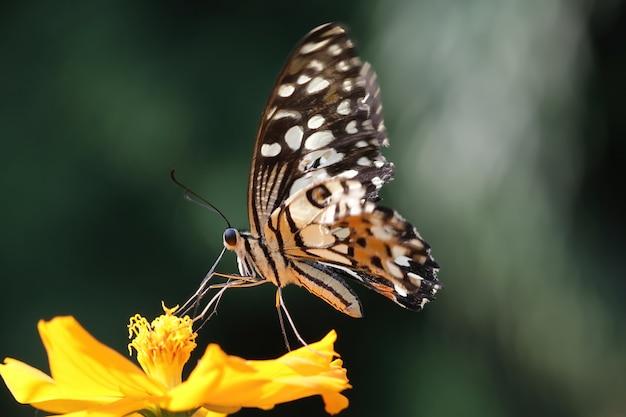 A borboleta suga o néctar da flor