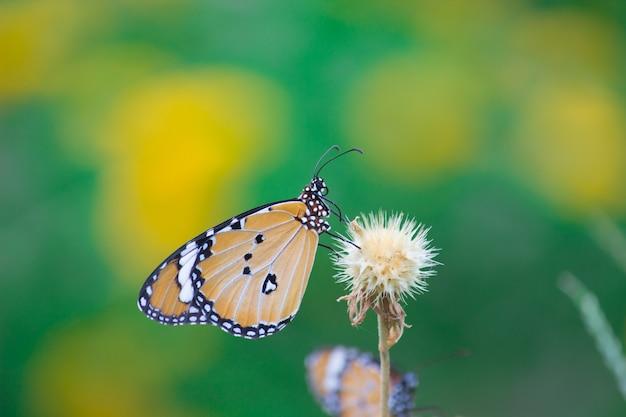 A borboleta tigre