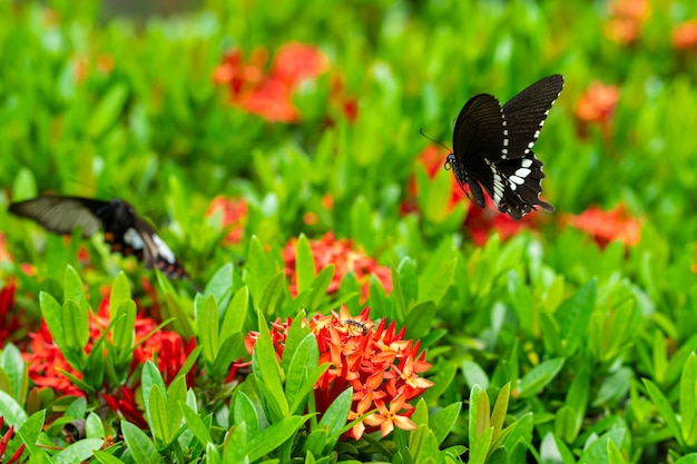 A borboleta tropical de um dia incrivelmente bonito papilio maackii poliniza as flores. borboleta preta e branca bebe néctar de flores. cores e beleza da natureza.