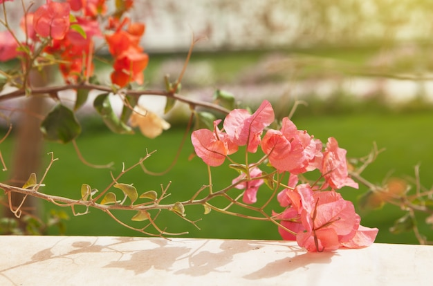 A buganvília cor-de-rosa e cor-de-rosa floresce no fundo da grama verde obscuro. conceito de viagens e férias