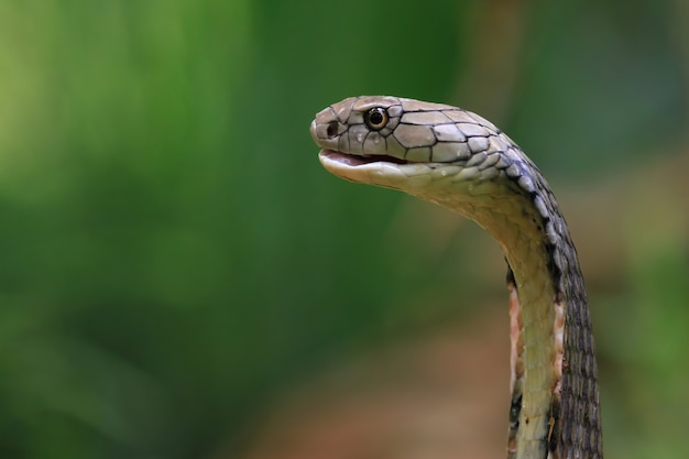 A cabeça da cobra kong vista lateral