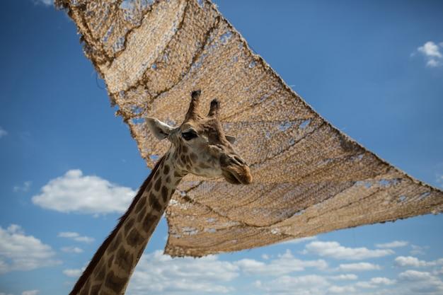 A cabeça da girafa