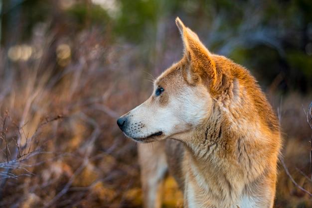 A cabeça de um cão de caça vermelho olha para longe da floresta no outono