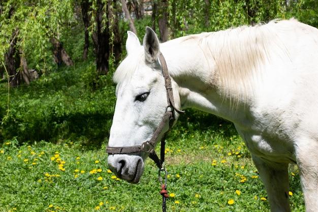 A cabeça de um cavalo branco triste contra um fundo de parque primavera
