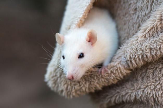 A cabeça de um curioso rato branco espreita do bolso da roupa feminina com uma cópia do espaço.